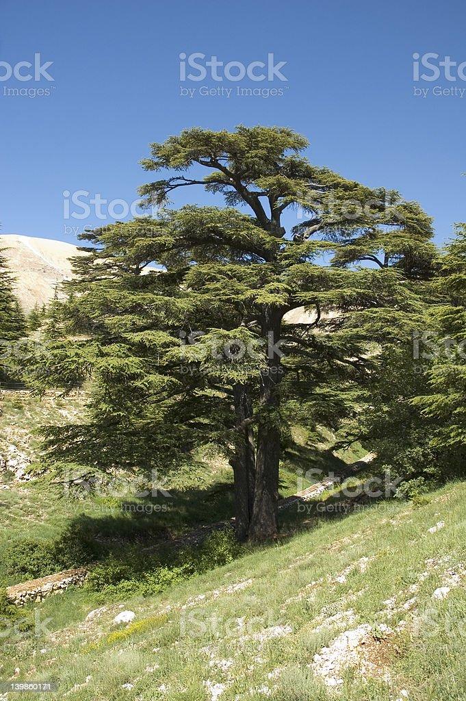 lebanese cedar royalty-free stock photo