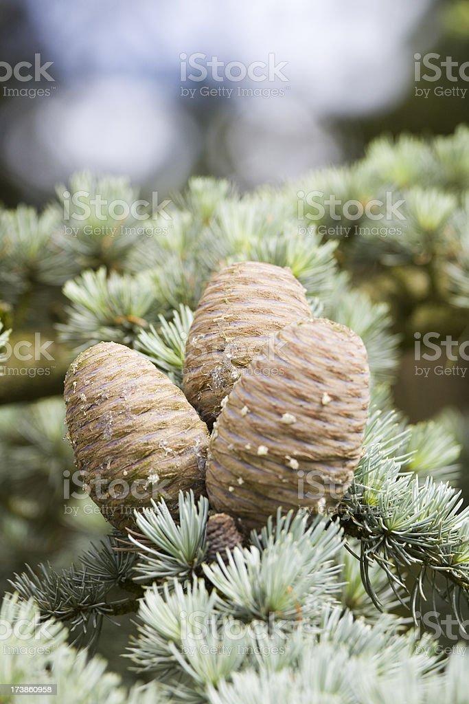 Lebanon Cedar & Cones stock photo