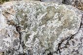 Lecanora muralis - Crustose lichen.
