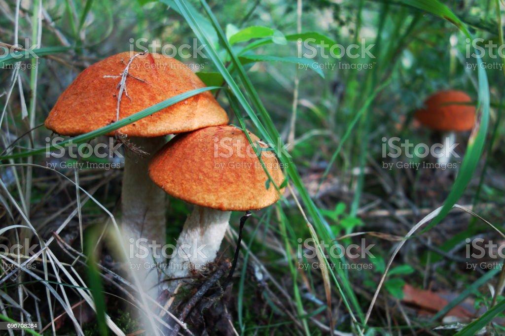 Leccinum aurantiacum (orange birch bolete) stock photo