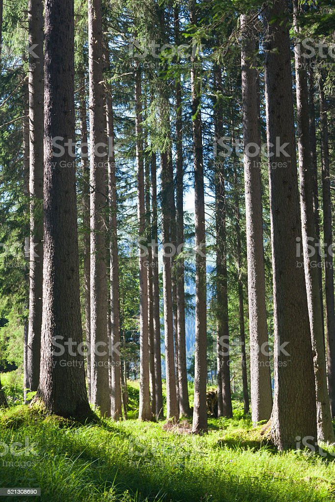 Lechtal Forest, Austria stock photo