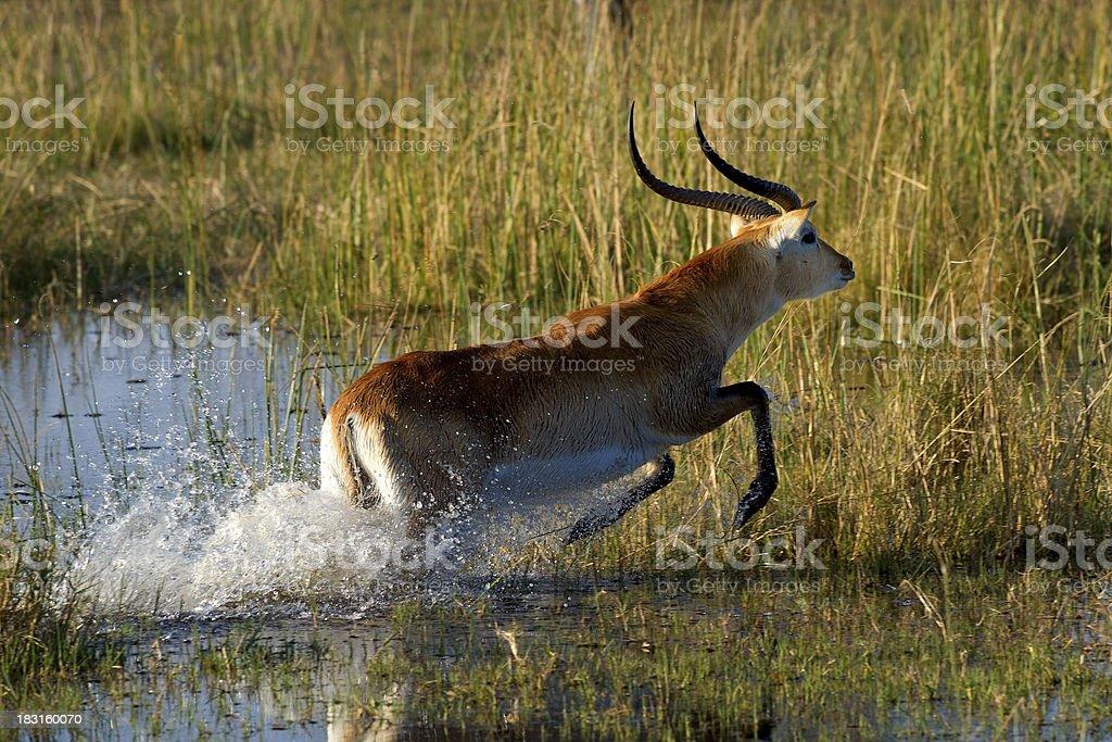 Lechwe, Okavango Delta stock photo