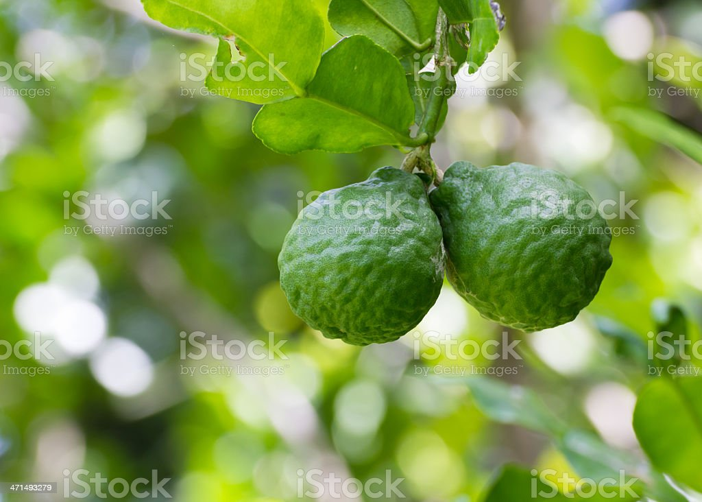 Leech lime or Bergamot stock photo