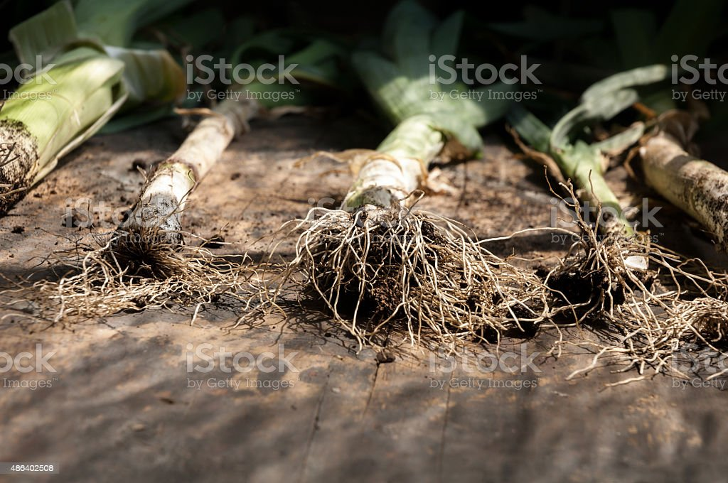 Leek roots stock photo