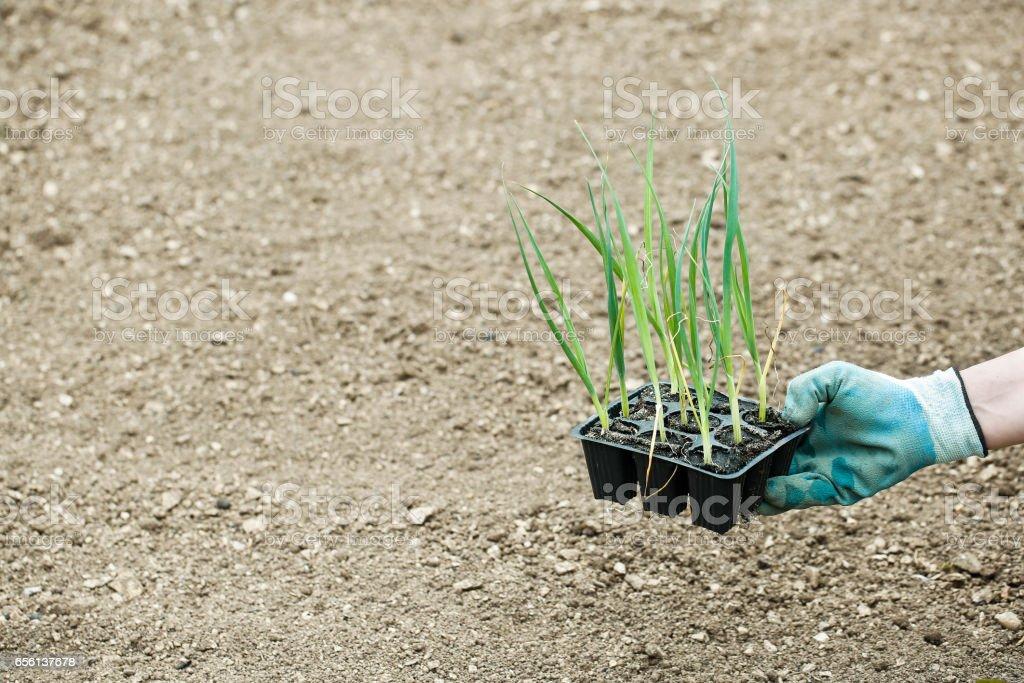 Leek seedlings in pot, prepared for planting stock photo