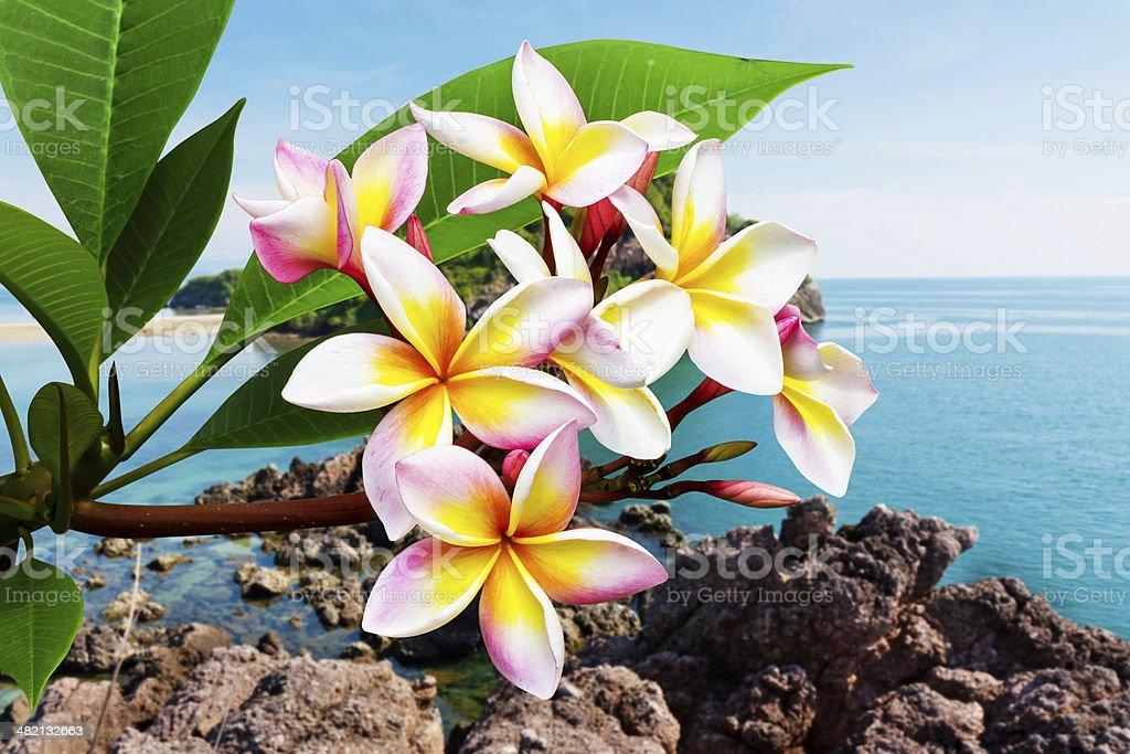 Leelawadee flower at beach stock photo
