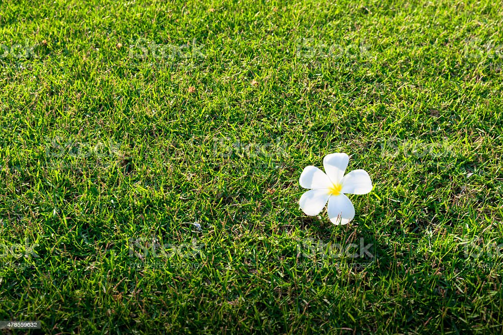 Leelawadee flower over green grass. royalty-free stock photo