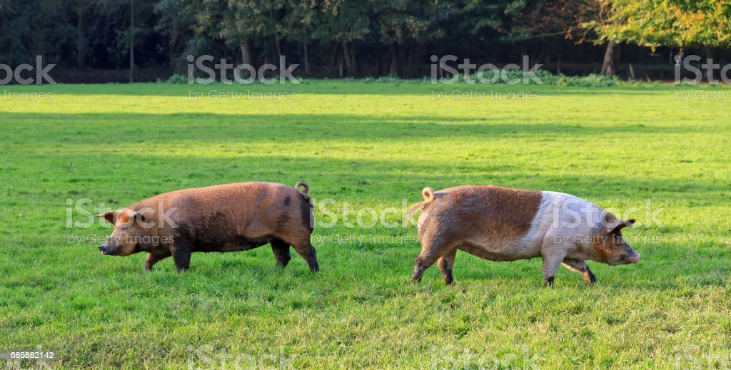 Left and right pigs in a field stock photo