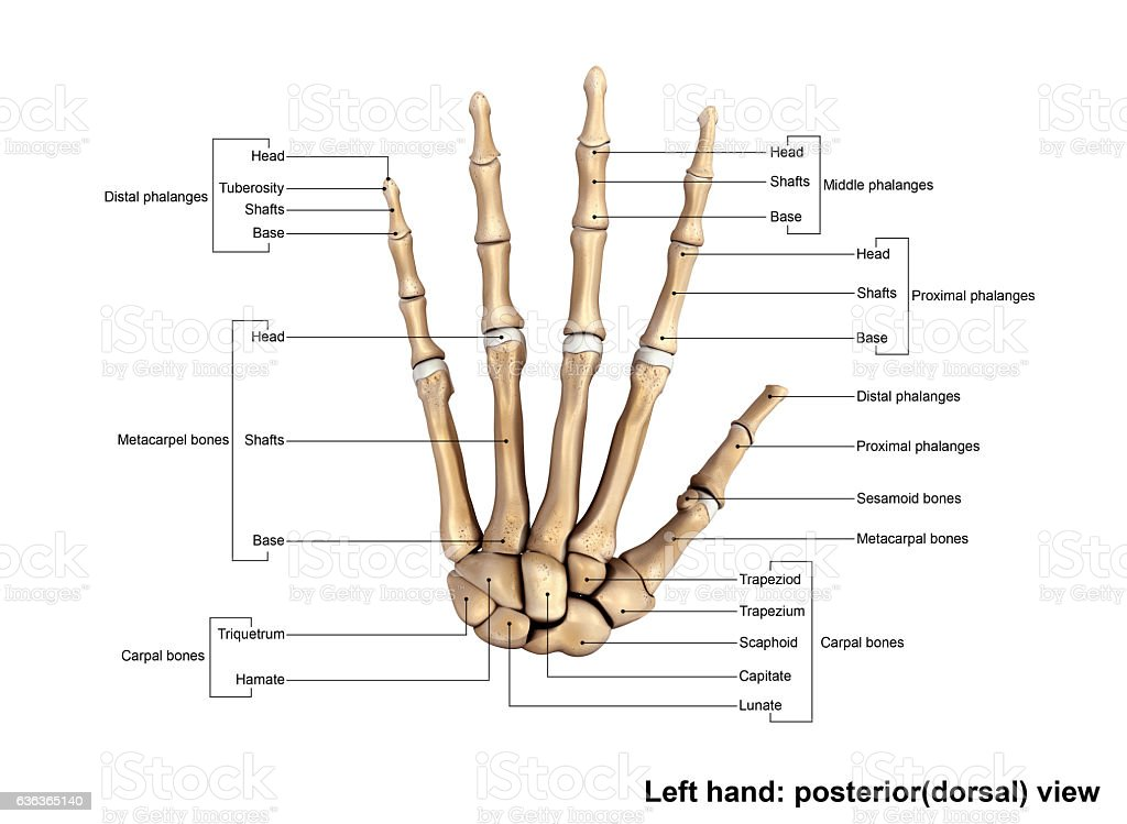 Left Hand Posterior (dorsal) view stock photo