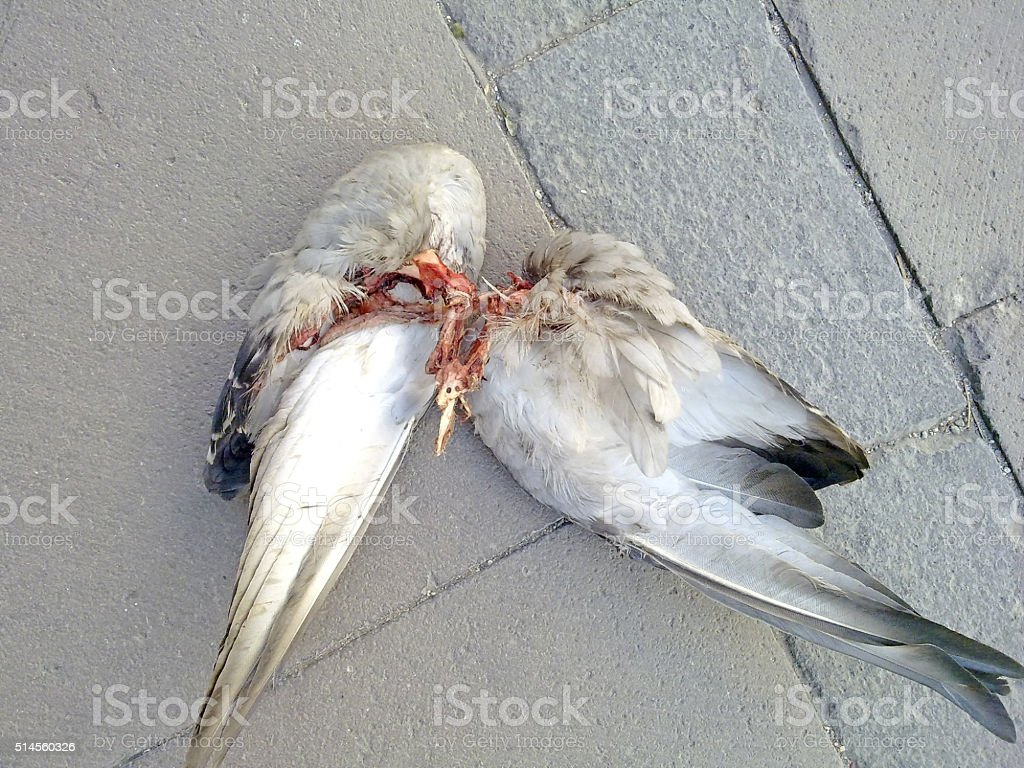 Left wings of the pigeon hunted by street animals stock photo