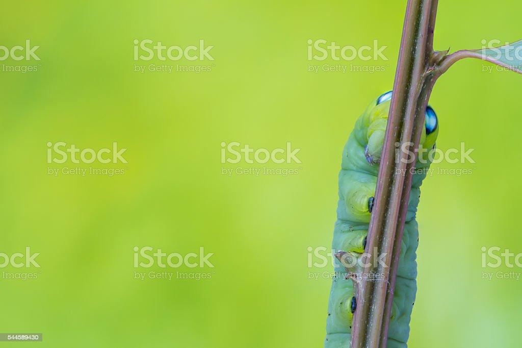 leg Daphnis Nerii stock photo
