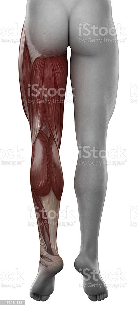 Leg male muscle anatomy posterior view isolated stock photo