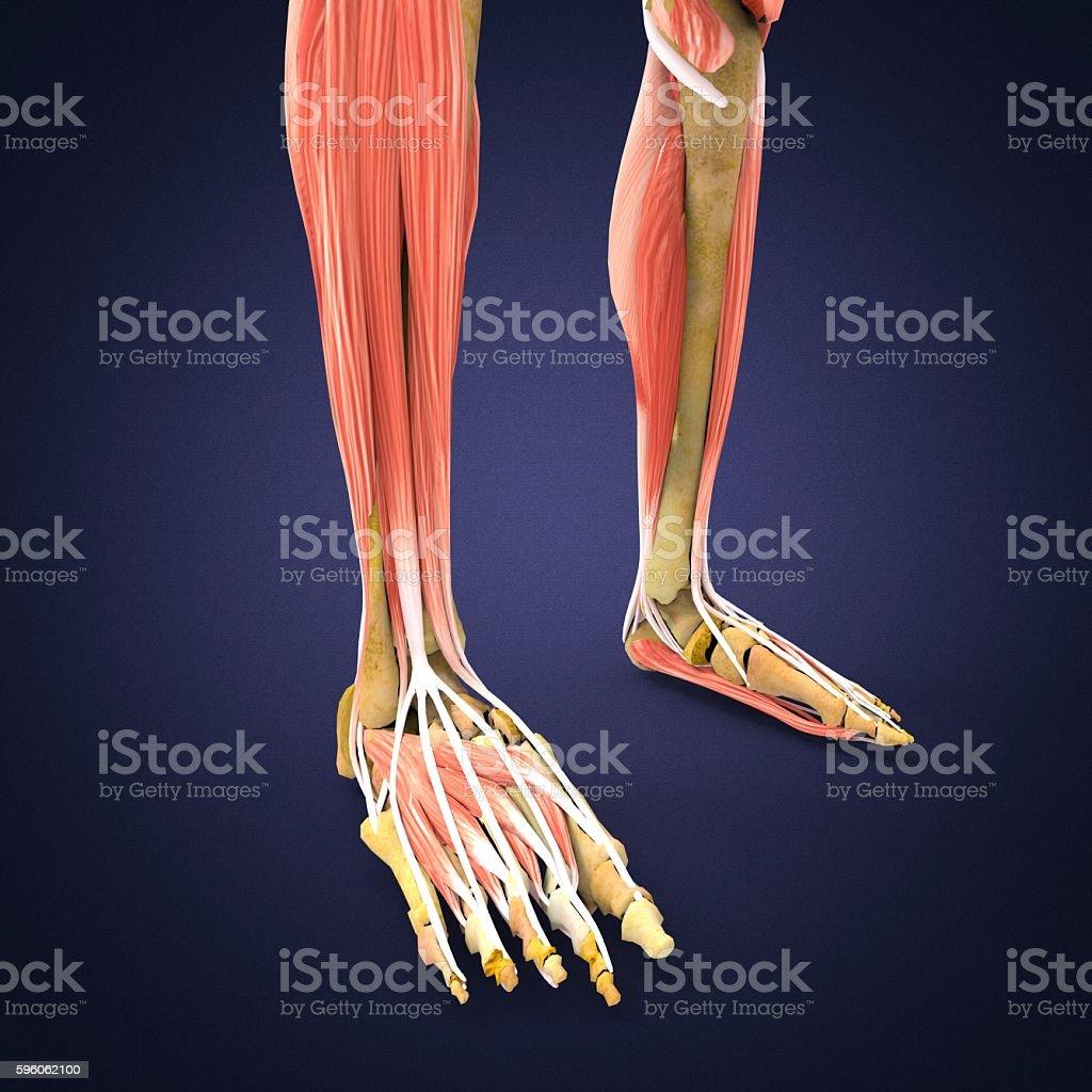 leg muscle anatomy stock photo