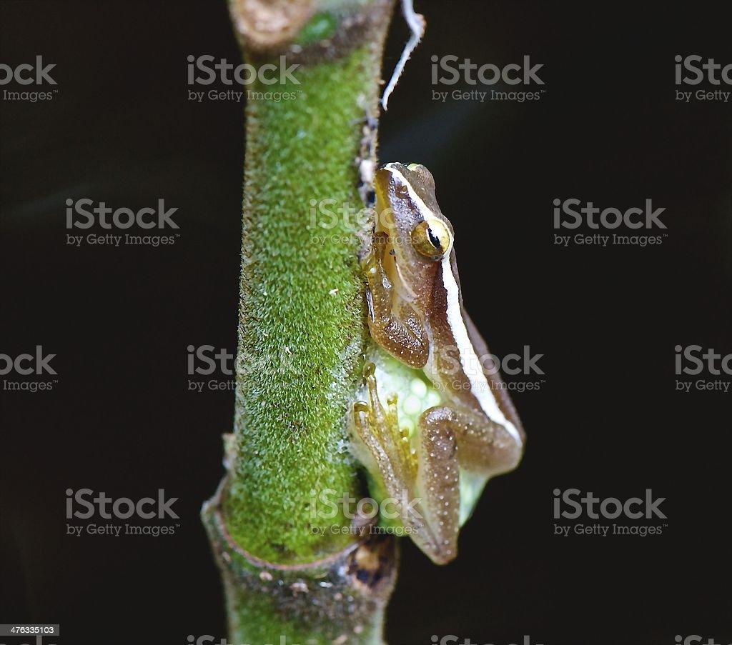 Legged frog spawn on trees royalty-free stock photo