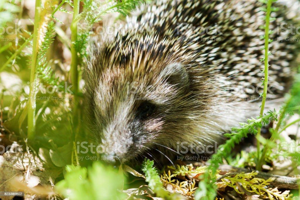 legs a little wild hedgehog stock photo