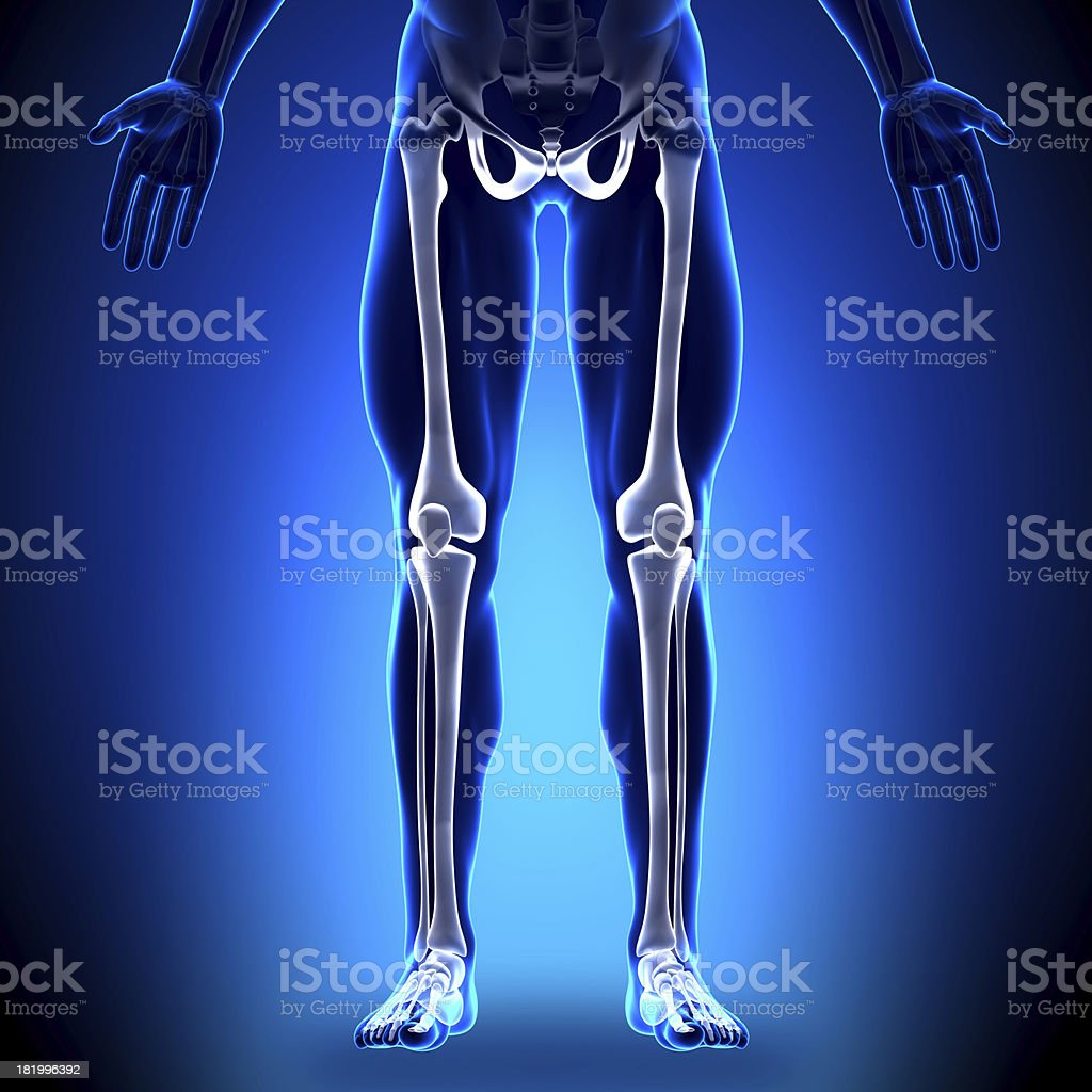 Legs - Anatomy Bones royalty-free stock photo