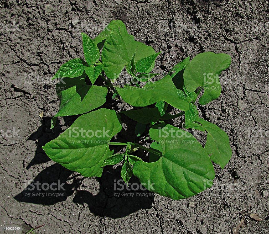 legume royalty-free stock photo