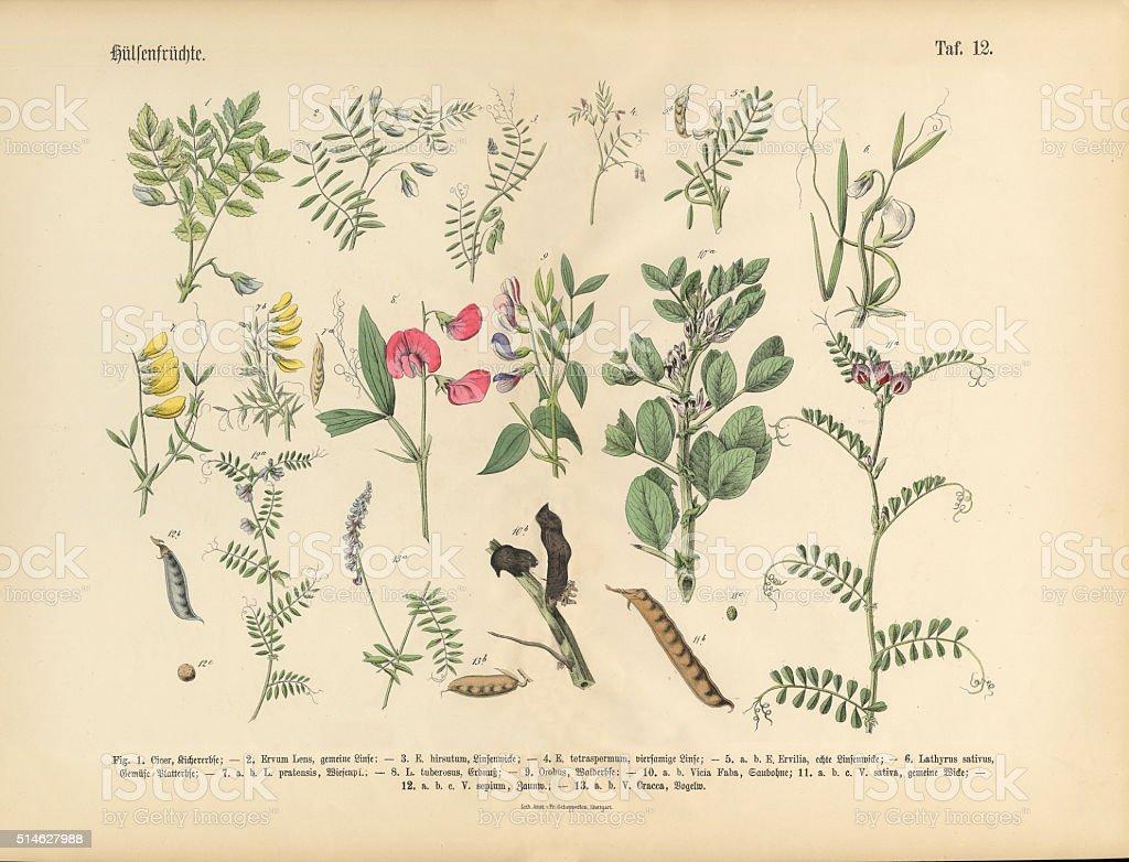 Legumes, Victorian Botanical Illustration stock photo