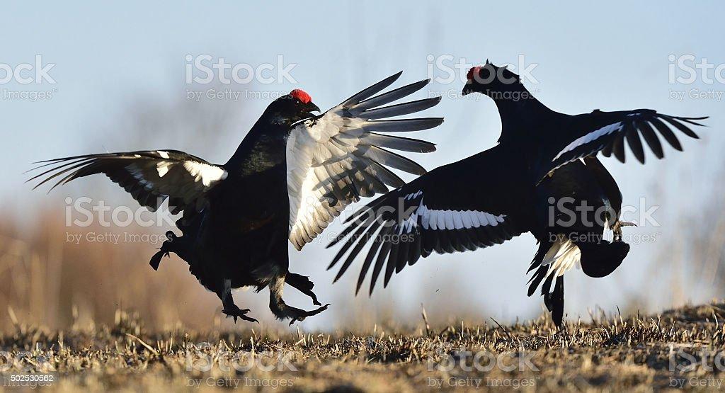 lekking black grouses (Tetrao tetrix). stock photo