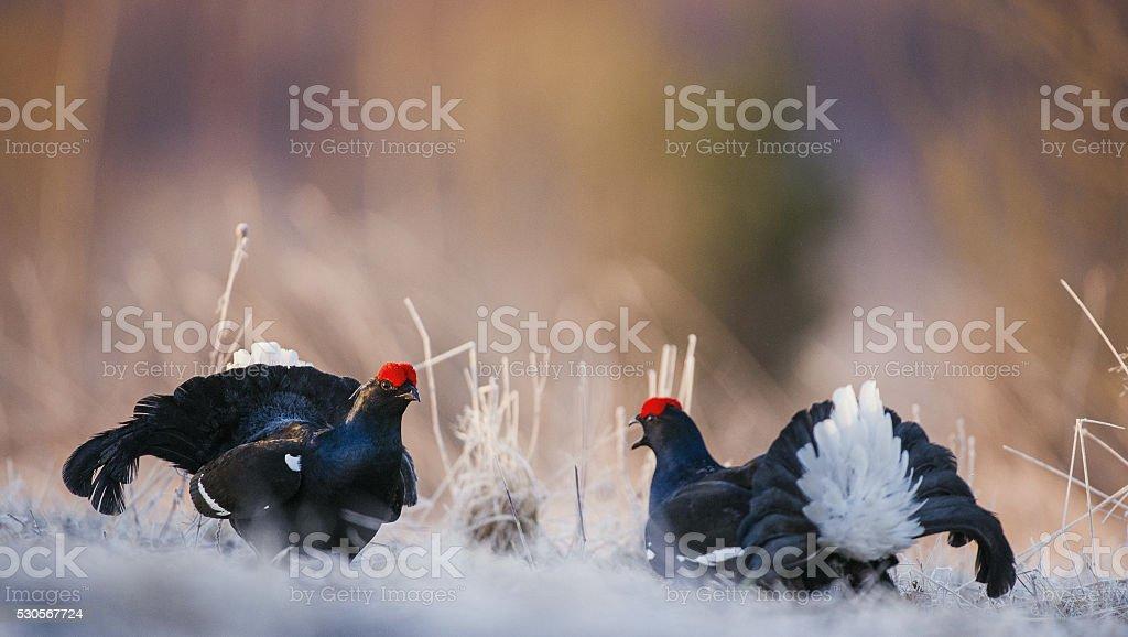 Lekking black grouses (Tetrao tetrix) stock photo