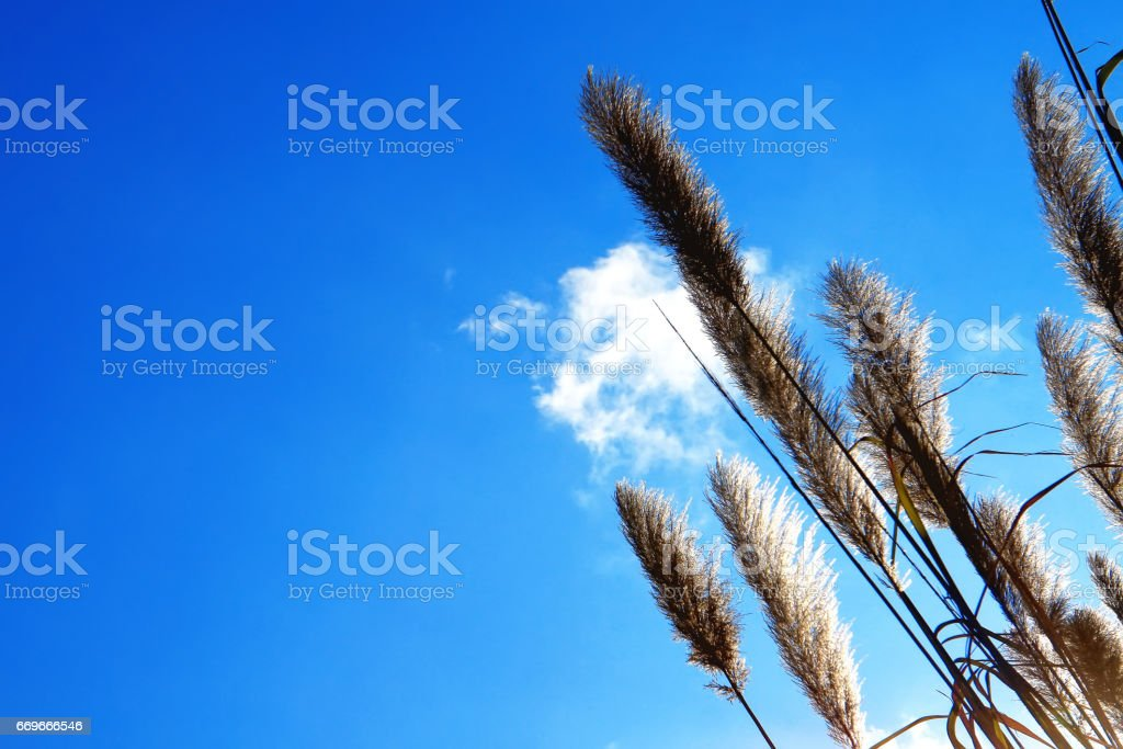 Lemma grass that the light of the sun shining behind with bright blue sky stock photo