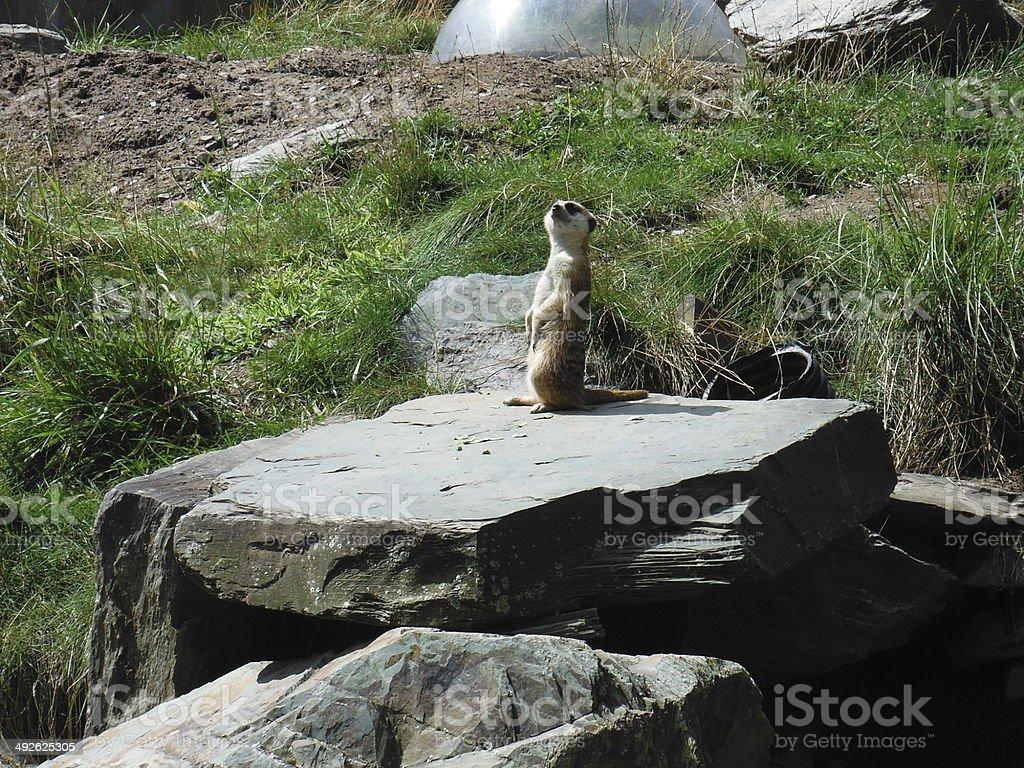 Lemming stock photo