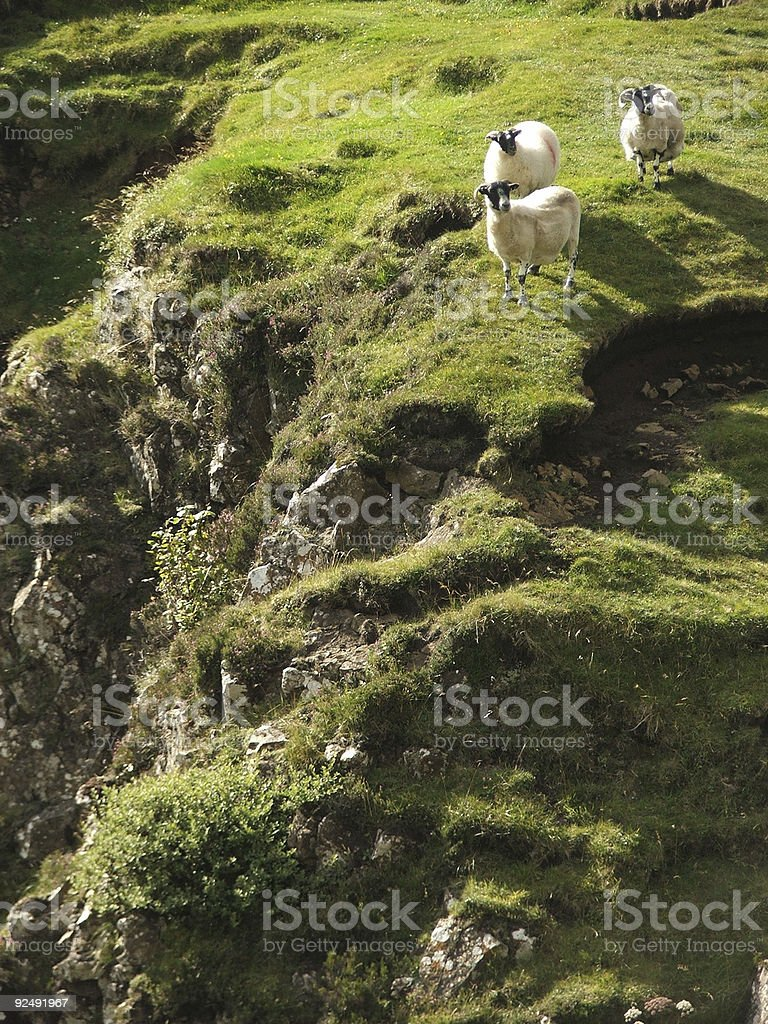 Lemming Sheep stock photo