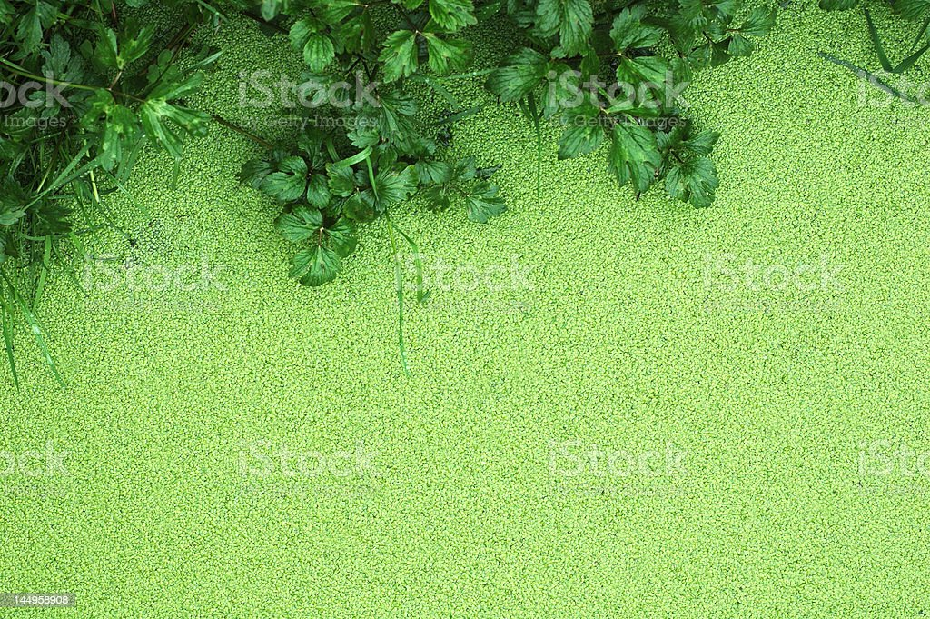 Lemna Minor  (Mud) stock photo