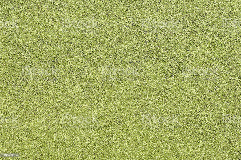 lemna minor texture royalty-free stock photo