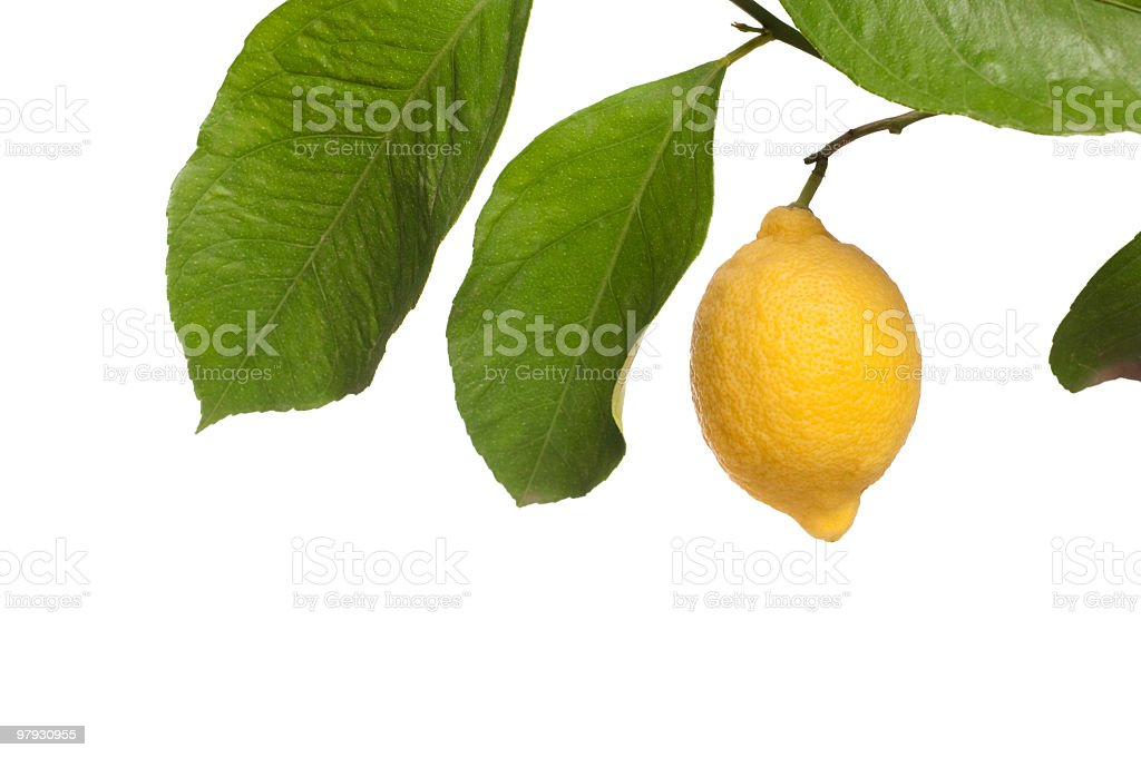 Lemon and branch on white stock photo