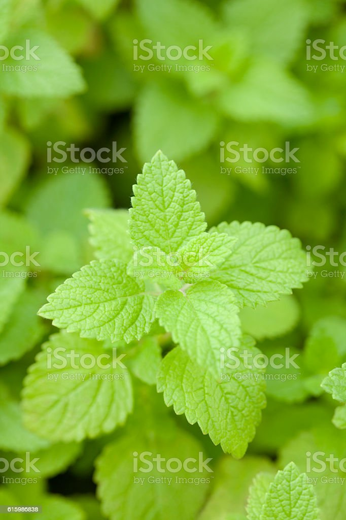 Lemon balm leaves stock photo