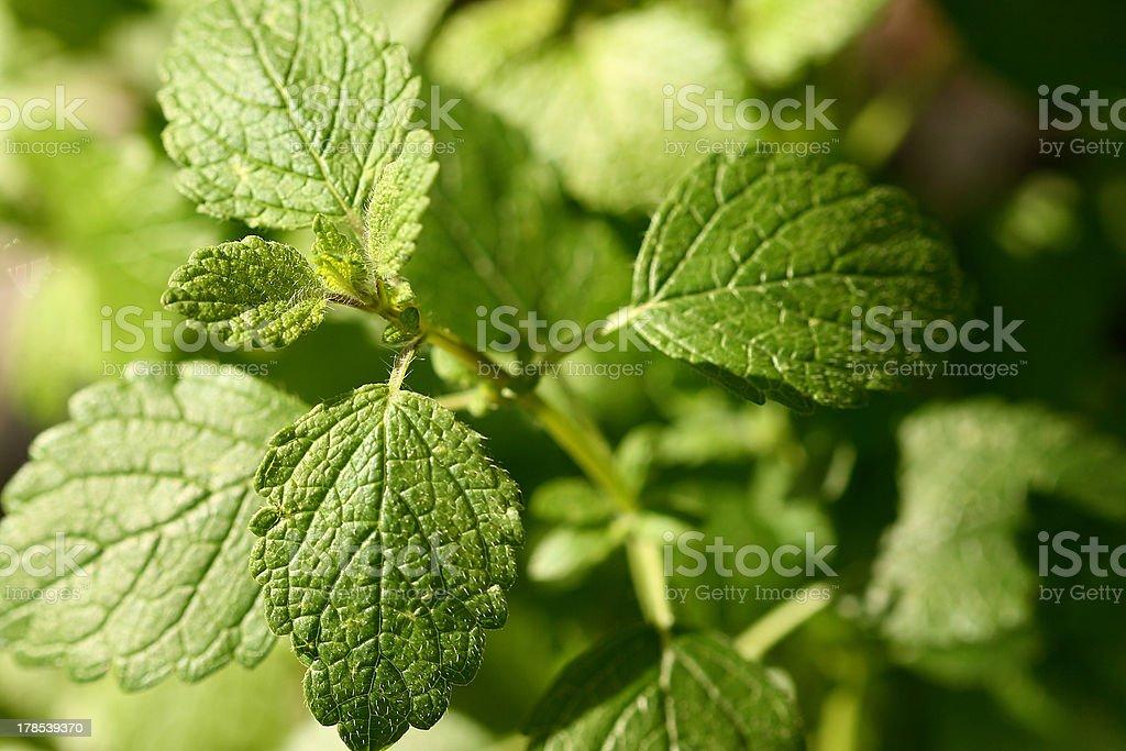 lemon balm royalty-free stock photo