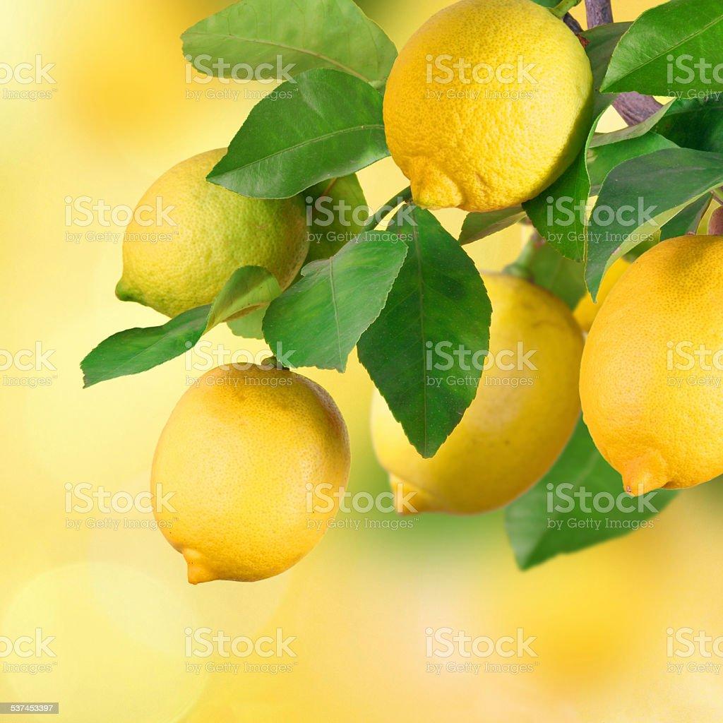 Lemon bunch, bokeh stock photo