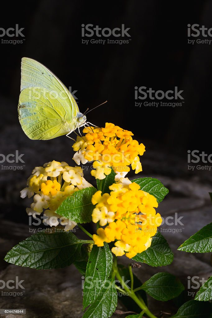 Lemon Emigrant, Catopsilia Pomona Butterflies on Brilliant lanta stock photo