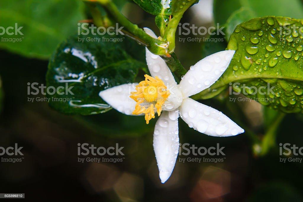 lemon flower on tree stock photo