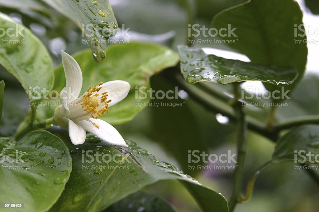Lemon flower royalty-free stock photo