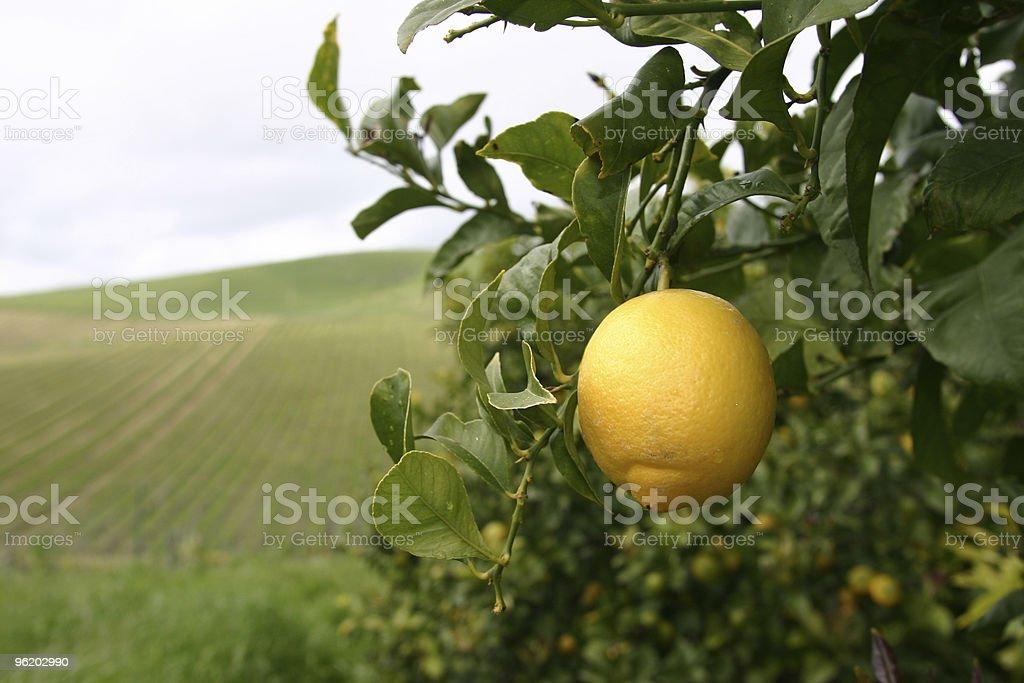 Lemon forever stock photo