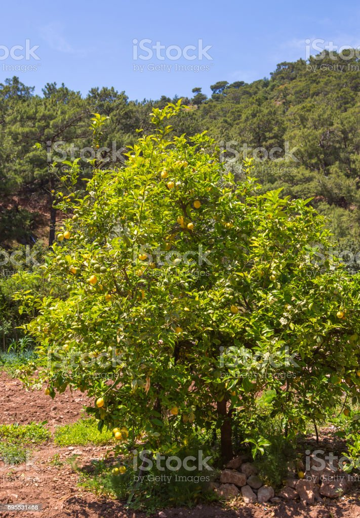 lemon fruit tree near fethiye mugla turkey stock photo