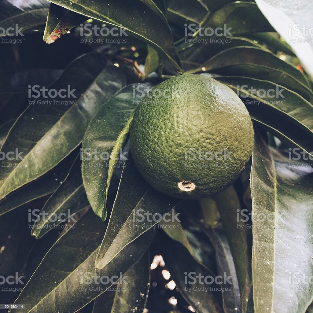 Lemon fruit with leaves stock photo