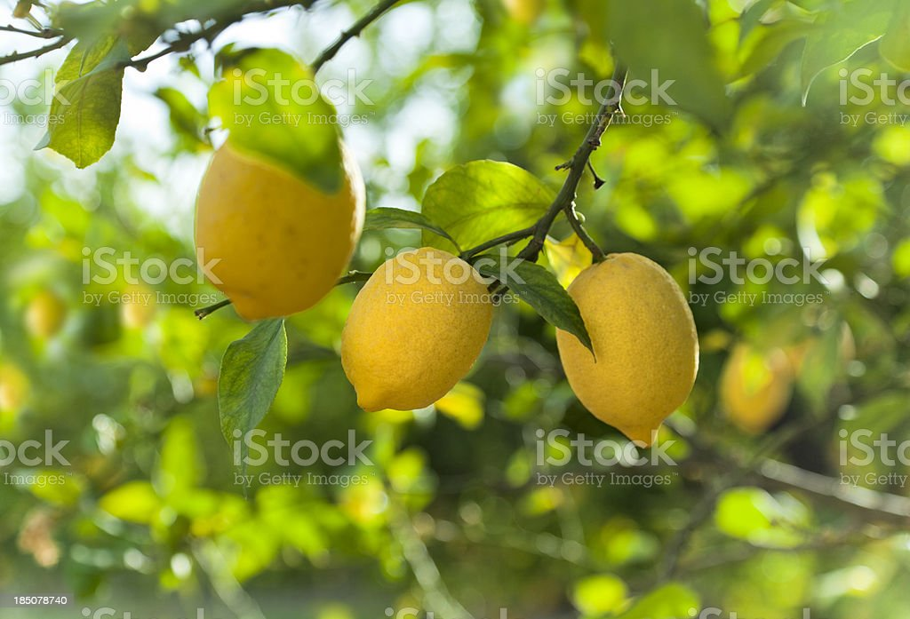 Lemon fruits in orchard stock photo