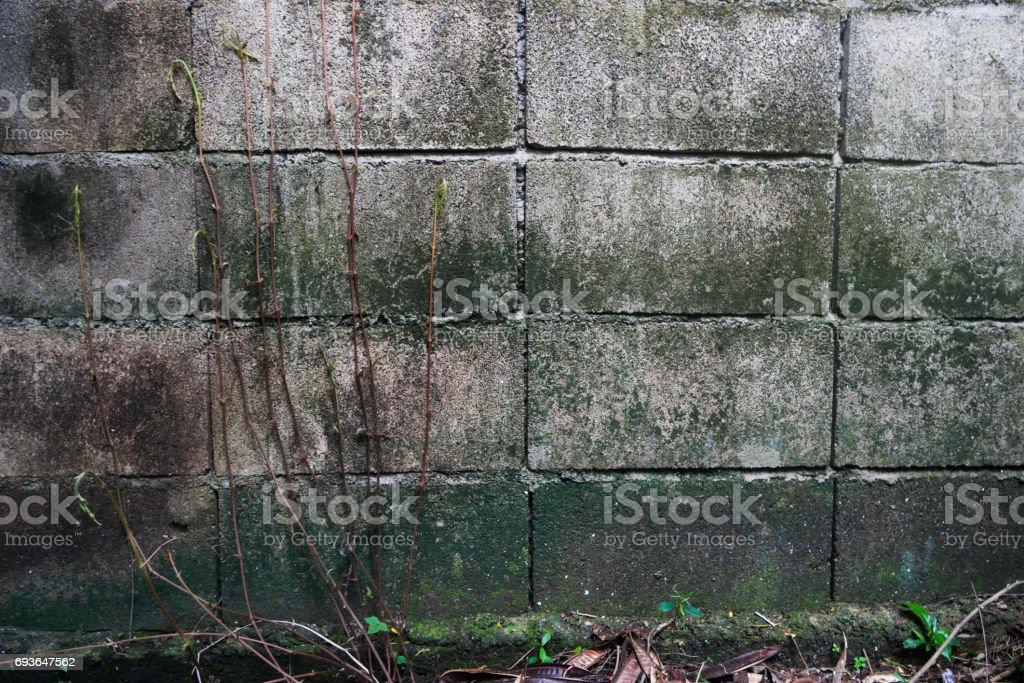 Lemon grass on the old wall bricks. stock photo