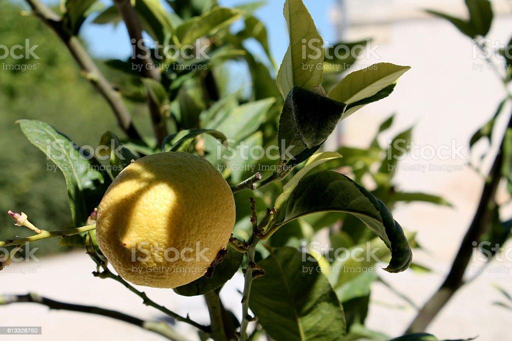Lemon in Partial Shade stock photo