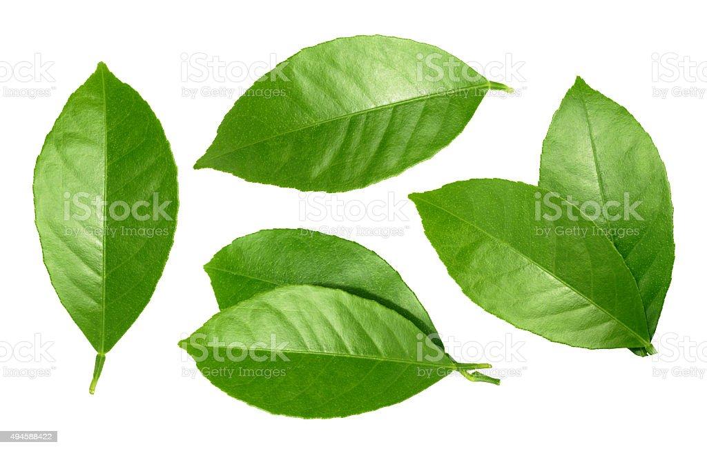 Lemon leaf isolated on white background stock photo