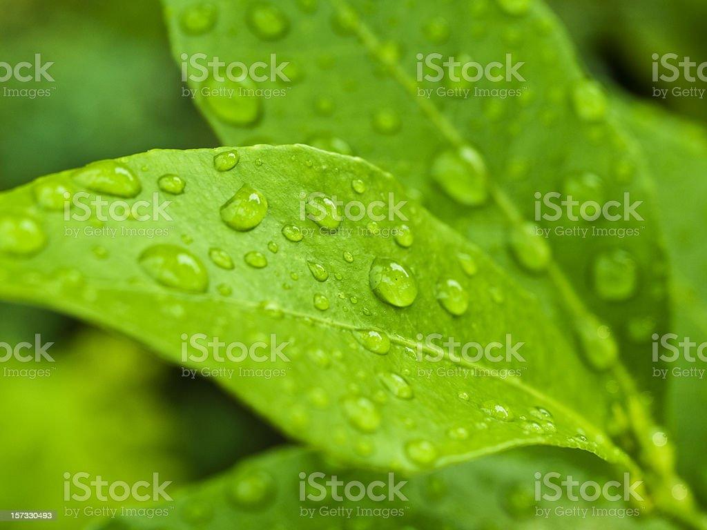 lemon leaves royalty-free stock photo