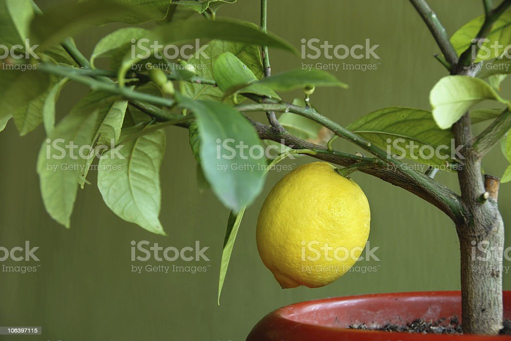 Lemon on lemon-tree stock photo