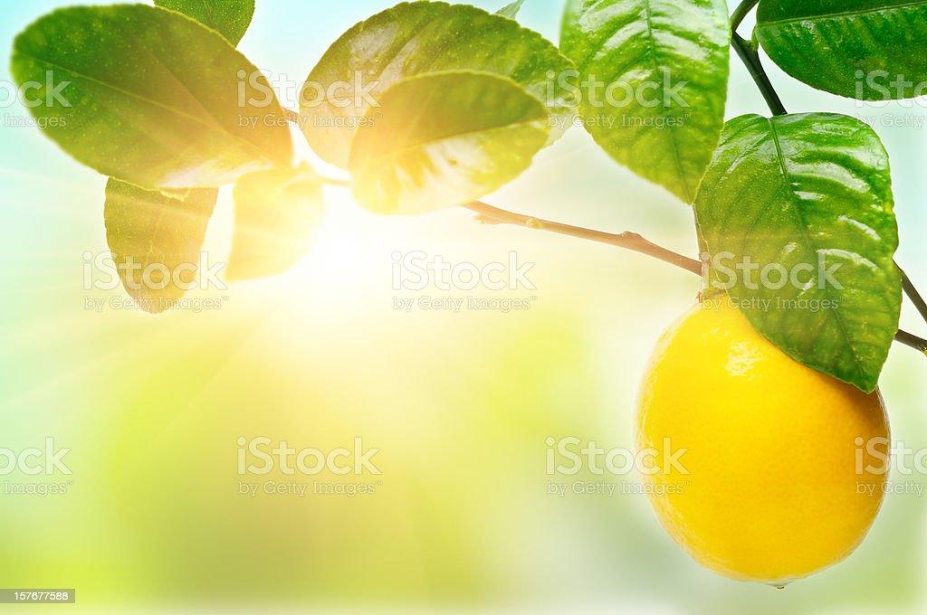 Lemon on tree royalty-free stock photo