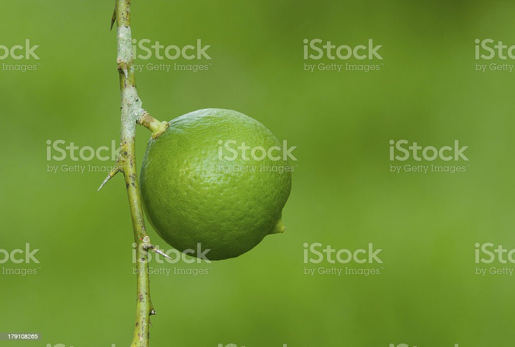 Lemon on tree stock photo