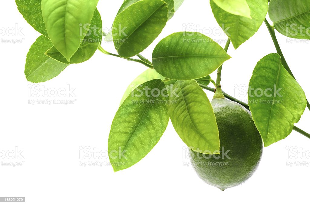 Lemon on tree royalty-free stock photo