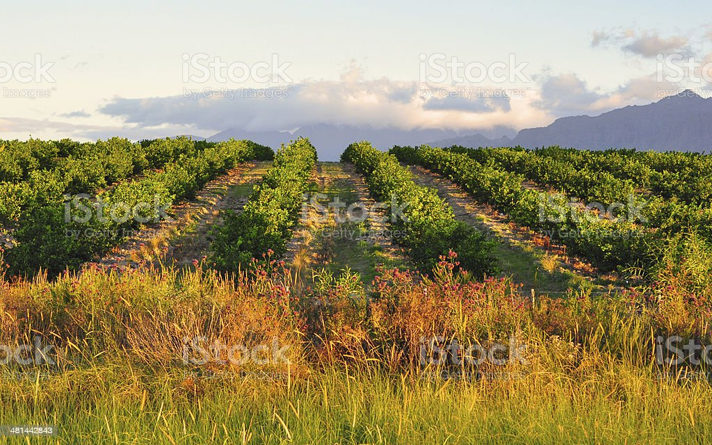 Lemon orchard and mountain background stock photo