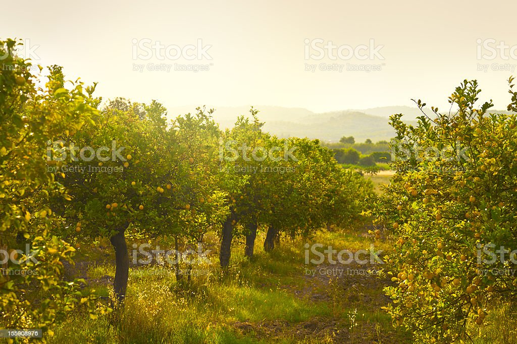 Lemon orchard stock photo